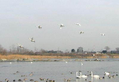 SwanFlying.jpg