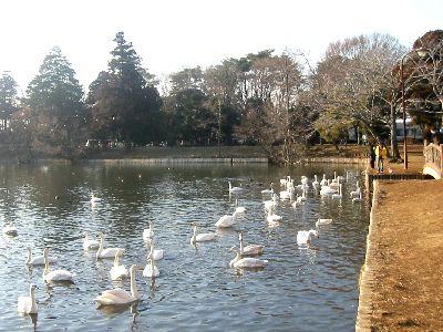 大塚公園・雷池の白鳥
