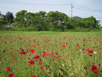 小山市立博物館前のポピー畑