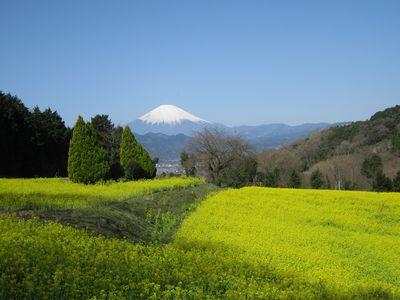富士見塚の菜の花畑より富士山