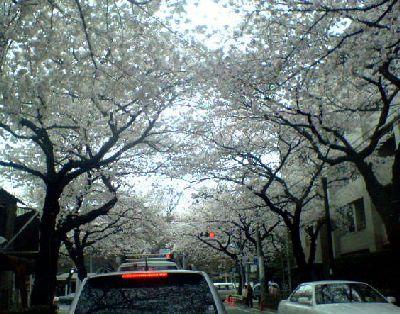 武蔵野市役所前の中央通りの桜